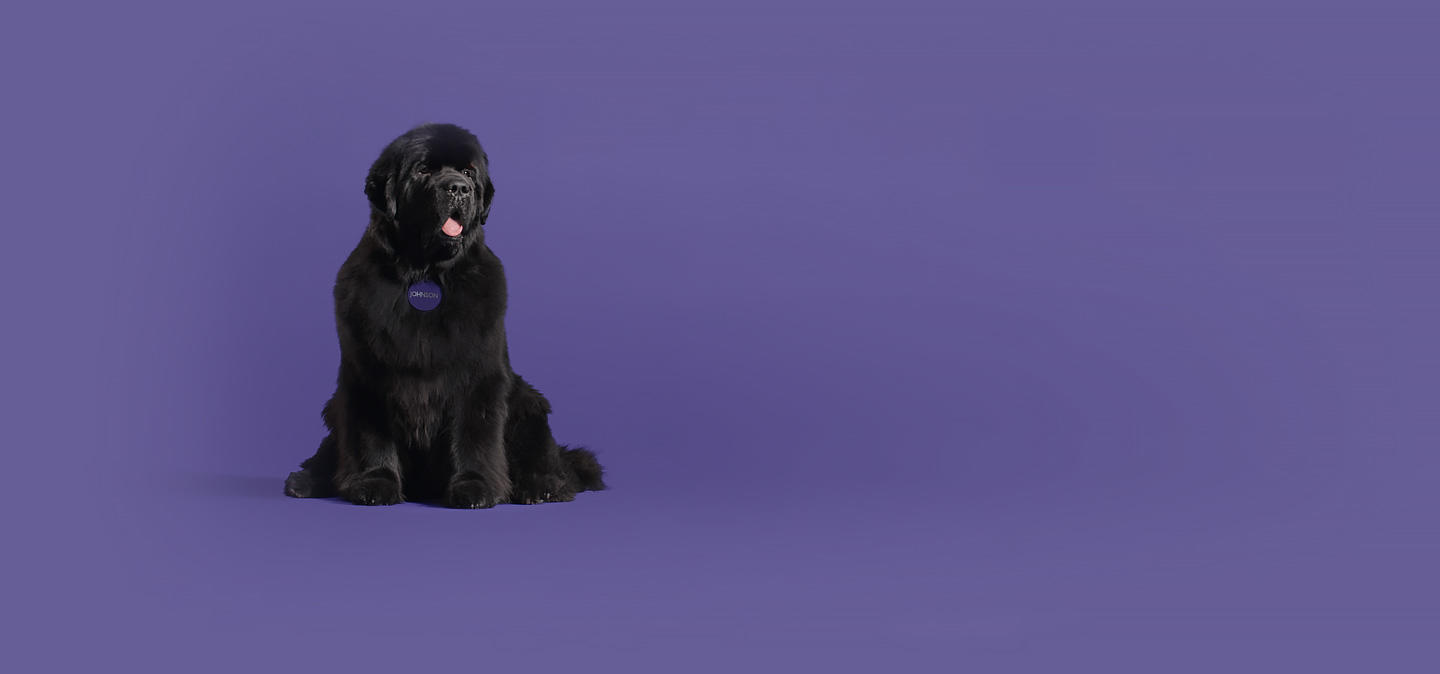 Johnson, a large and lovable Newfoundland dog sits proudly and smiles.